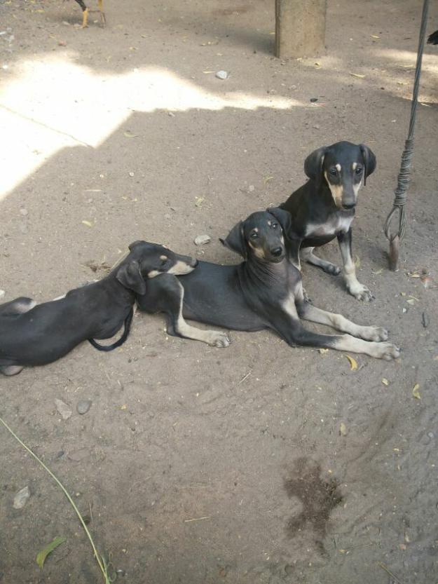 Kanni Puppies: Kanni Female Tellicherry And Kanni Goats Available Breed