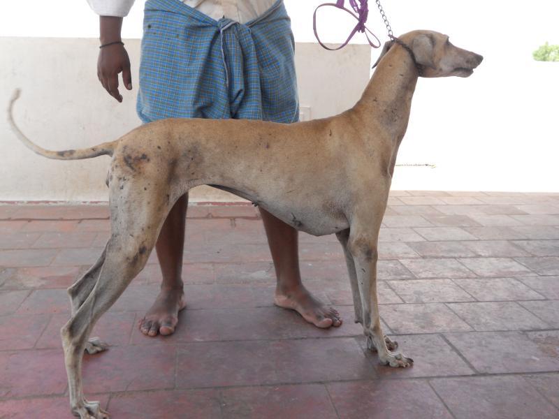 Kanni Puppies: Kanni Httpccsolxincuicccc Rajapalyamchippiparaikombai And Kanni Dogs For Sale Animalsjpg Breed