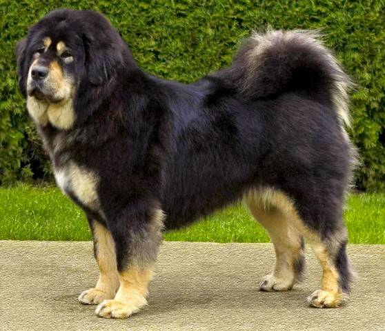 Kanni Dog: Kanni Interesting Dog Breeds That
