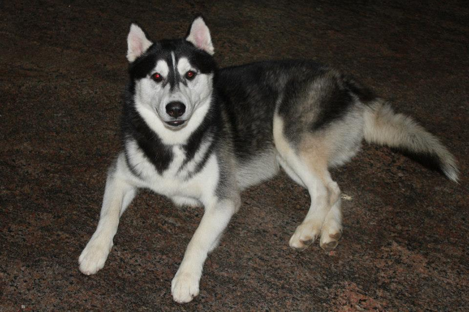 Kanni Dog: Kanni Is It A Crime To Own A Siberian Husky Breed