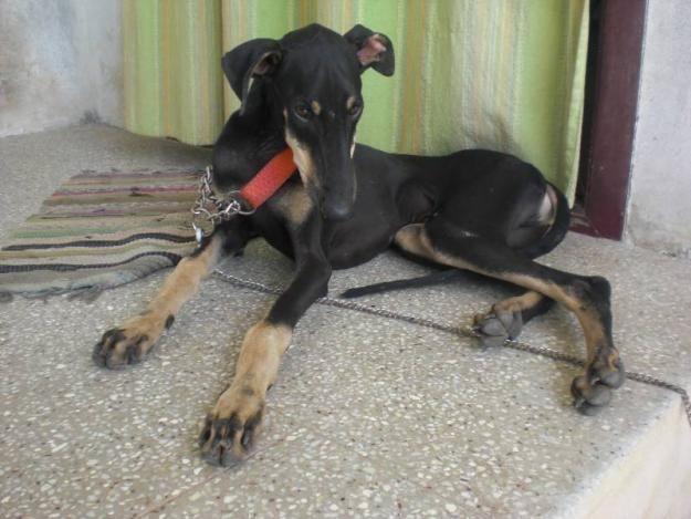 Kanni Dog Puppy Dog Gallery