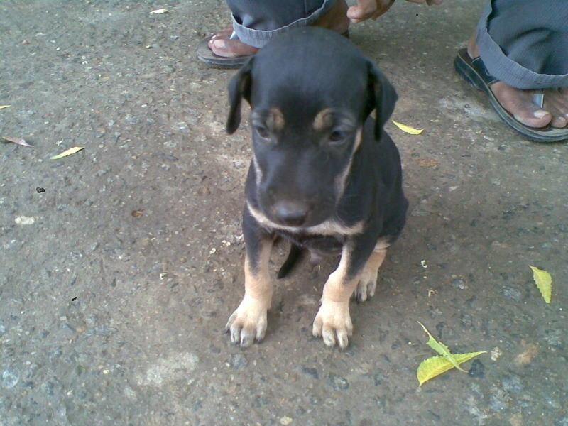 Kanni Dog: Kanni Manojpet Kanni Breed