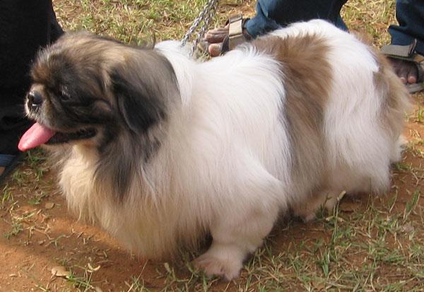 Kanni Puppies: Kanni Postdetails Breed