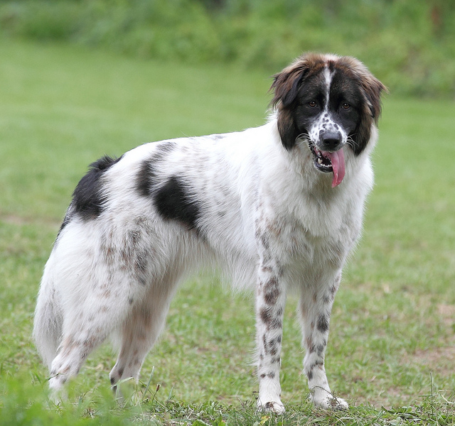 Karakachan Dog: Karakachan Breed