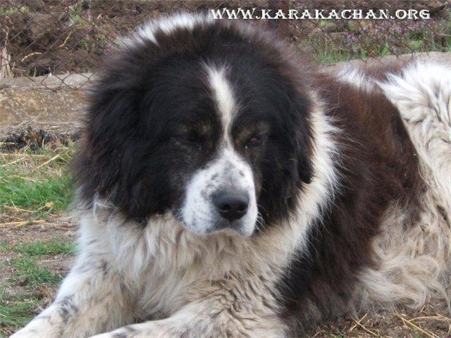 Karakachan Dog: Karakachan Karakachan Bear Dog Breed