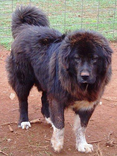 Karakachan Dog: Karakachan Karakachan Dog Breed