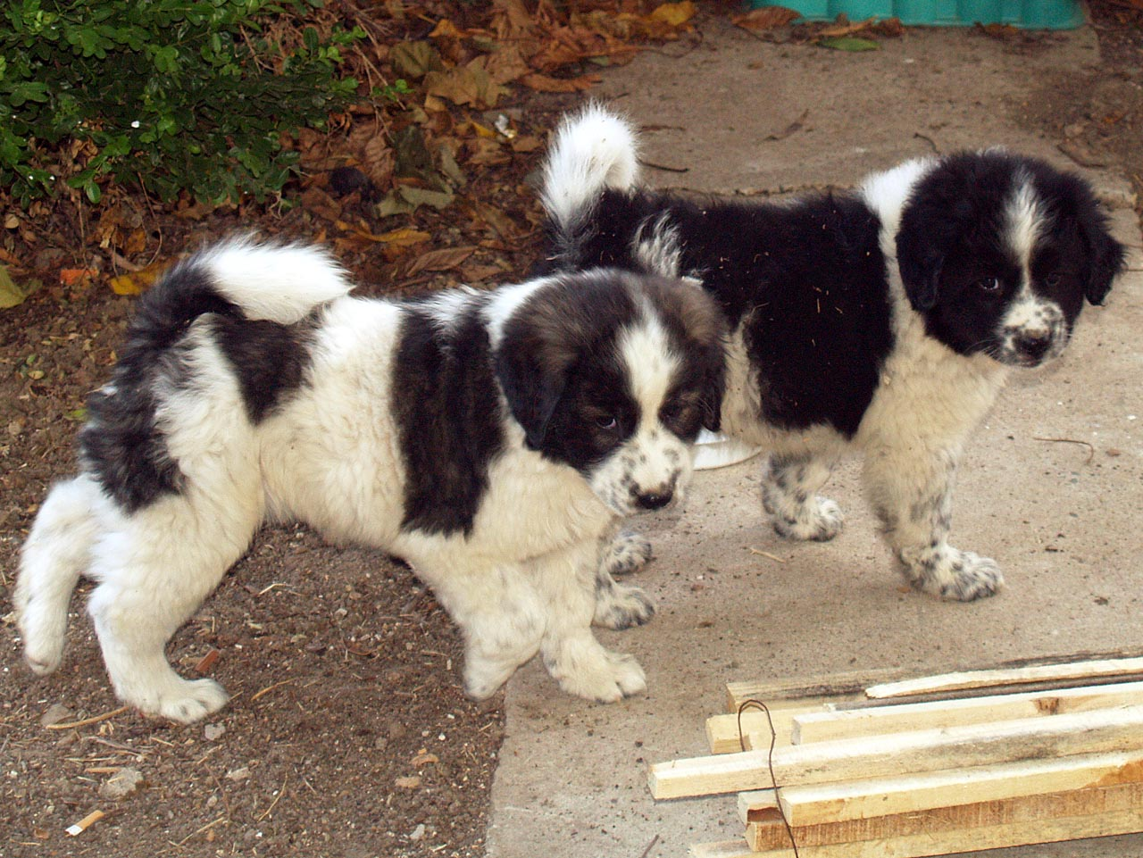 Karakachan Puppies: Karakachan Karakachan Dog Puppies Breed