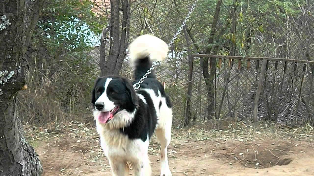 Karakachan Dog: Karakachan Watch Breed