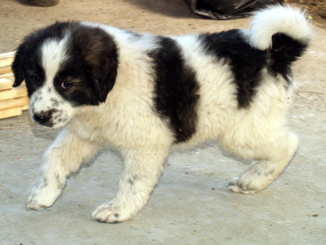 Karakachan Puppies: Karakachan Weeks Old Karakachan Breed