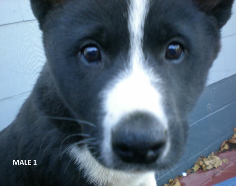 Karelian Bear Puppies: Karelian Dog Ad O Breed
