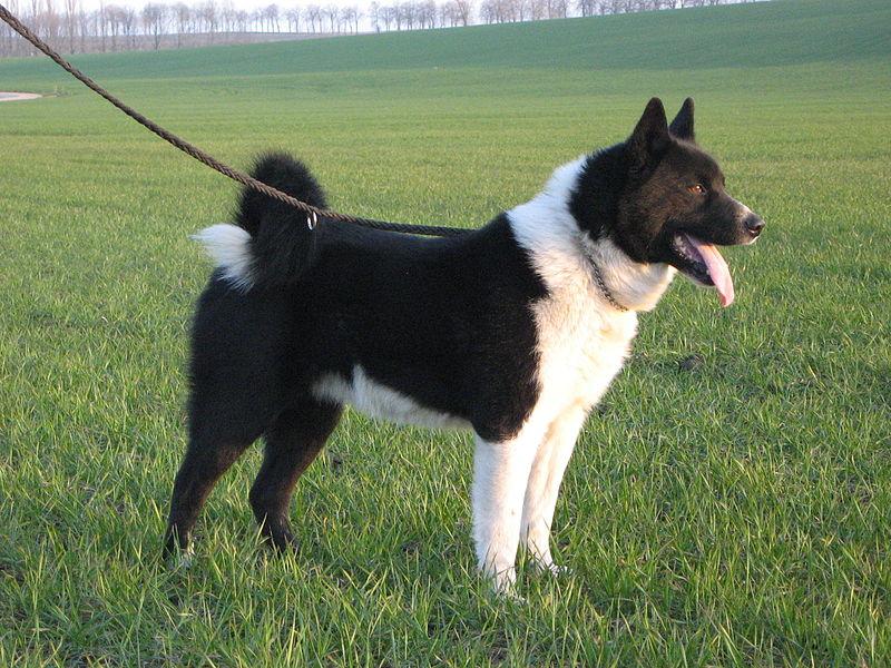 Karelian Bear Puppies: Karelian Karelian Bear Dog Breed