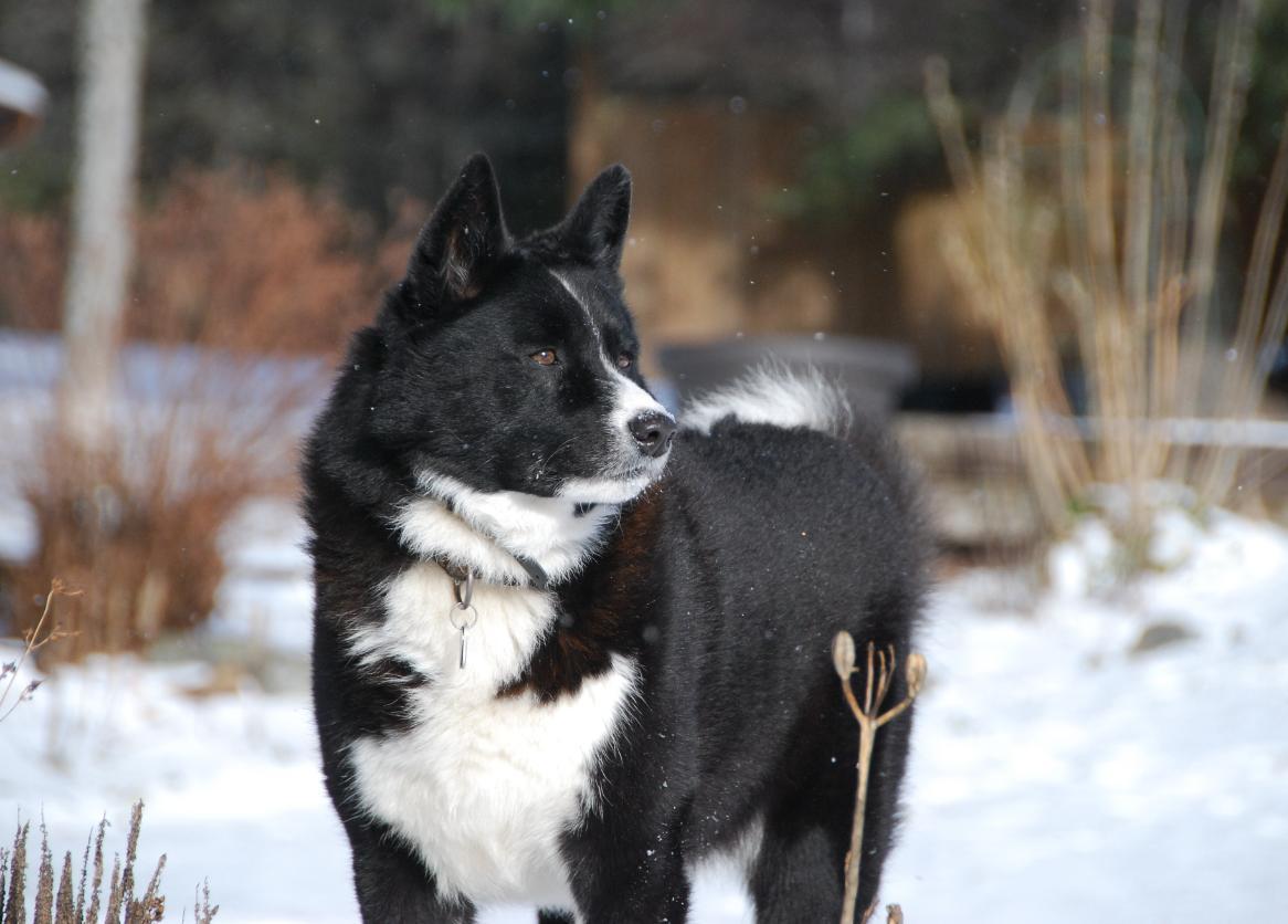 Karelian Bear Dog: Karelian Karelian Bear Dog Pictures Breed