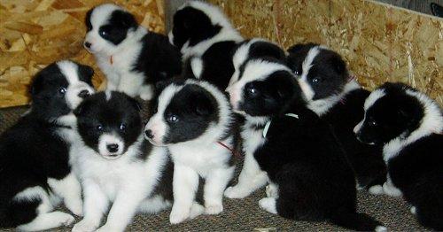 Karelian Bear Puppies: Karelian Karelian Bear Dog Puppies Breed