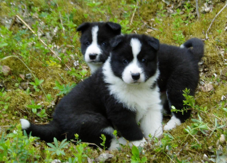 Karelian Bear Dog: Karelian Karelian Bear Puppies Breed