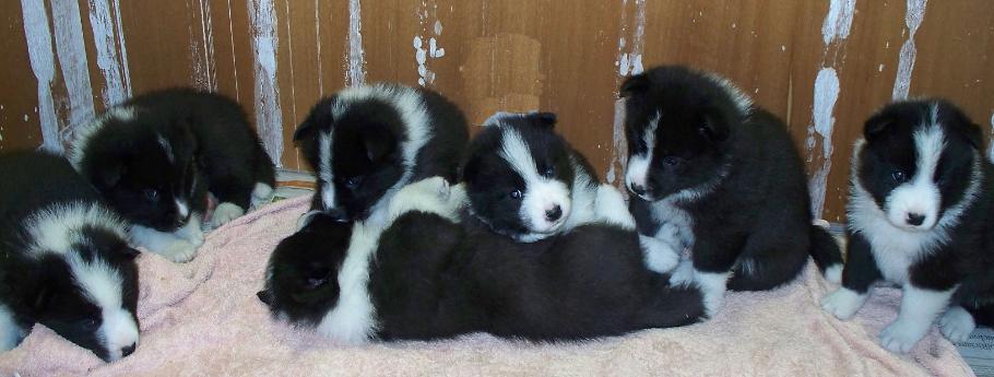 Karelian Bear Puppies: Karelian Puppyinfo Breed
