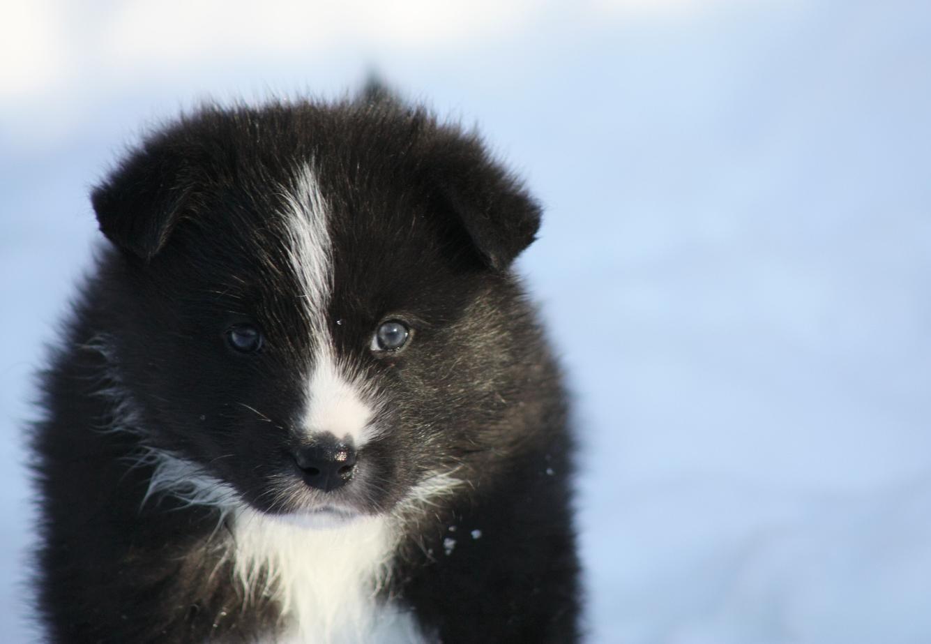 Karelian Bear Dog: Karelian S Breed