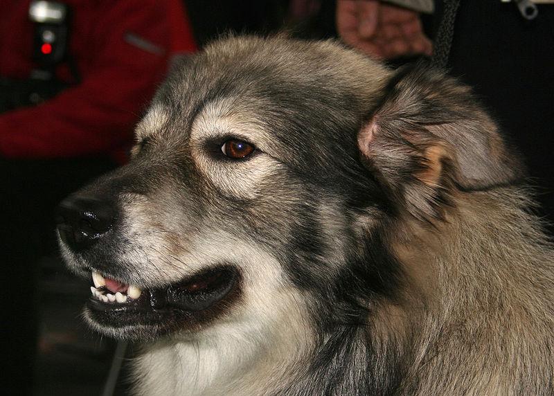 Karst Shepherd Dog: Karst Archive Breed
