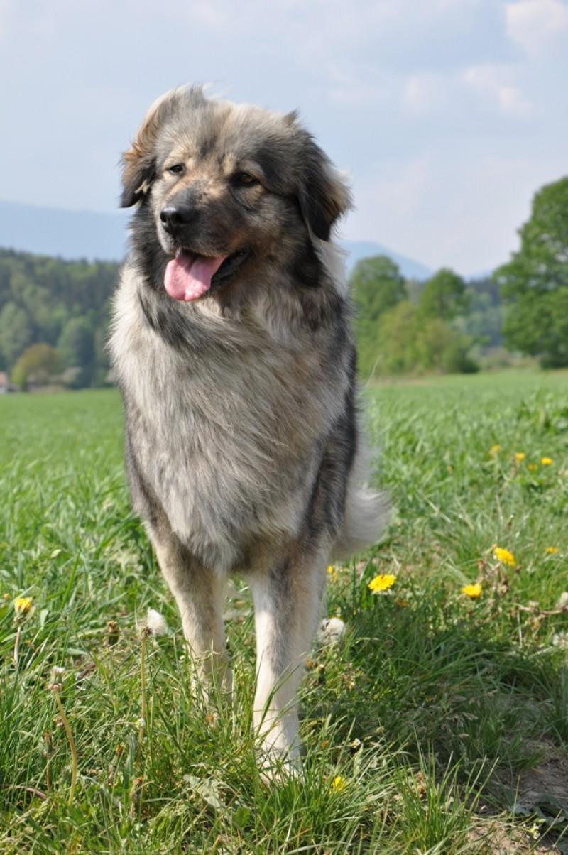 Karst Shepherd Puppies: Karst Basque Shepherd Dog S Breed