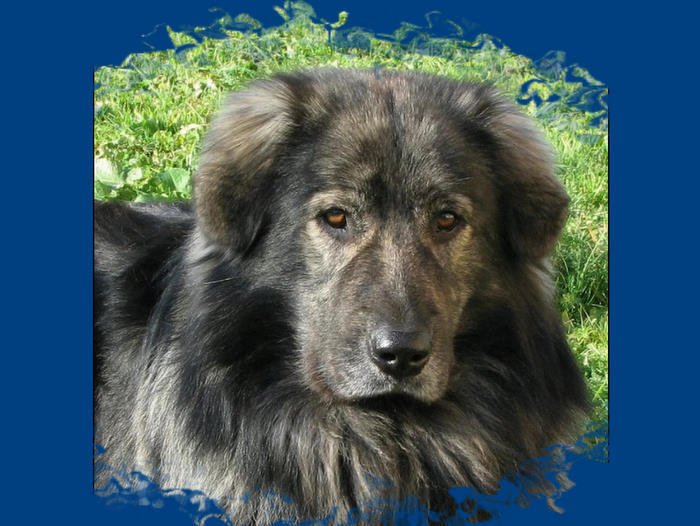 Karst Shepherd Dog: Karst Karst Shepherd Breed