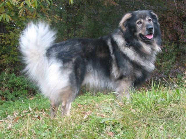 Karst Shepherd Dog: Karst Karst Shepherd Dog Breed