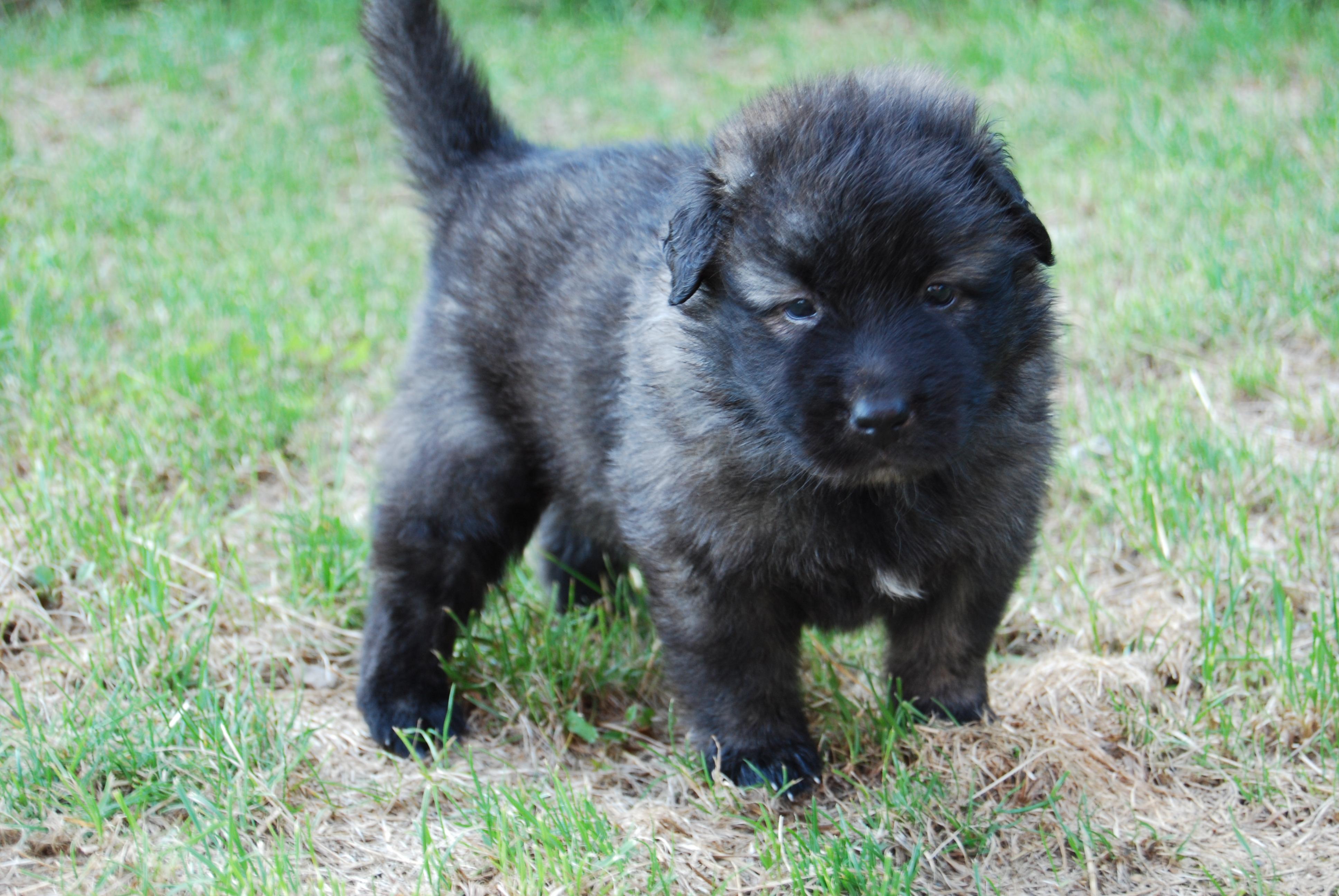 Karst Shepherd Dog: Karst Karst Shepherd Puppy Breed