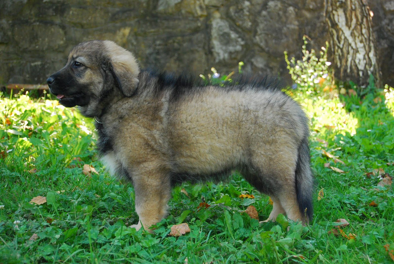 Karst Shepherd Dog: Karst Nice Karst Shepherd Dog Breed