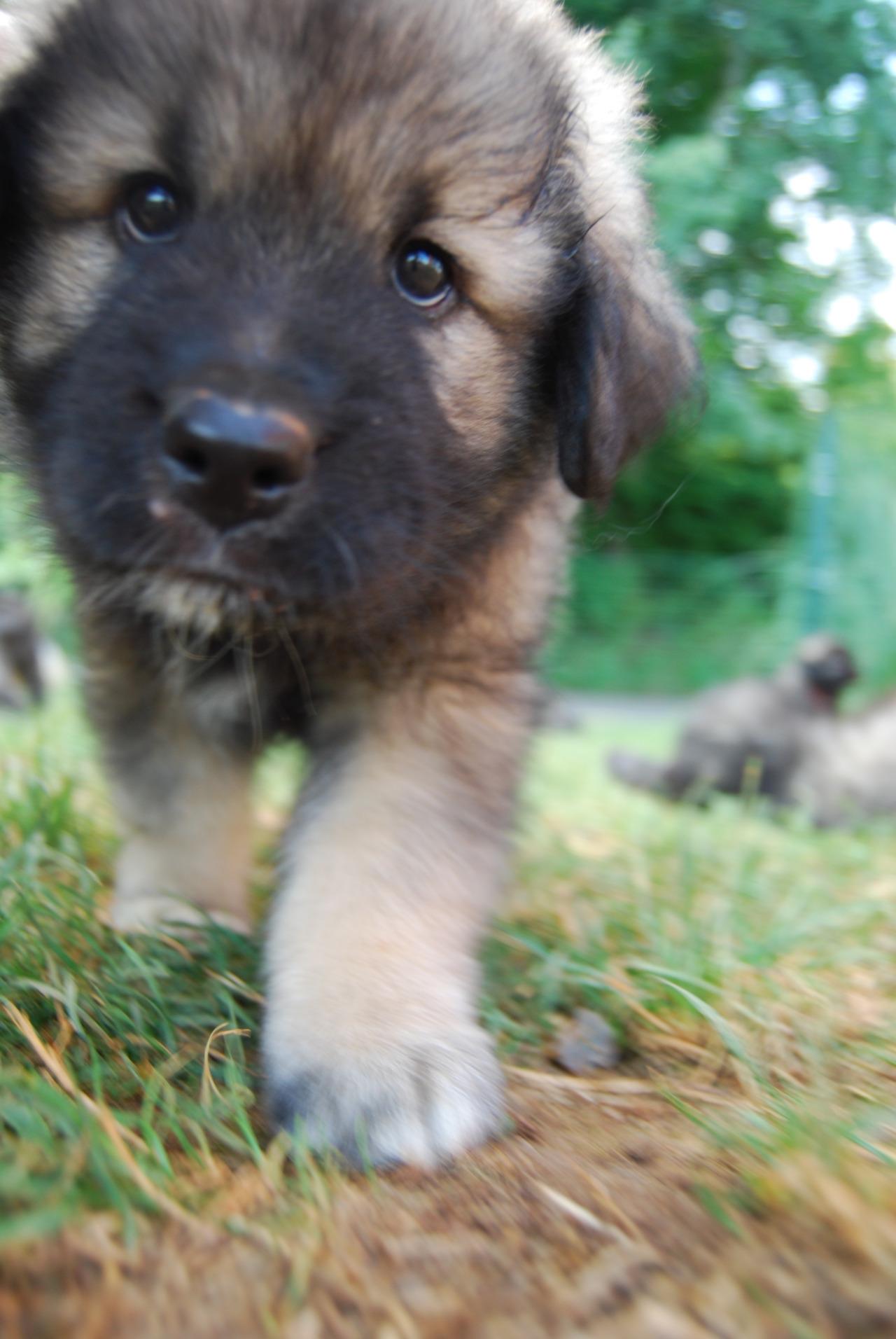Karst Shepherd Dog: Karst Owczarekkraski Breed
