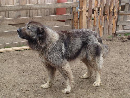 Karst Shepherd Dog: Karst Pastor De Karst Breed