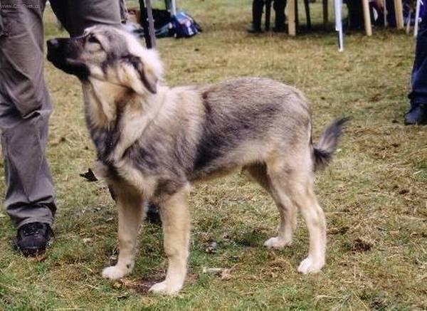Karst Shepherd Dog: Karst S Breed