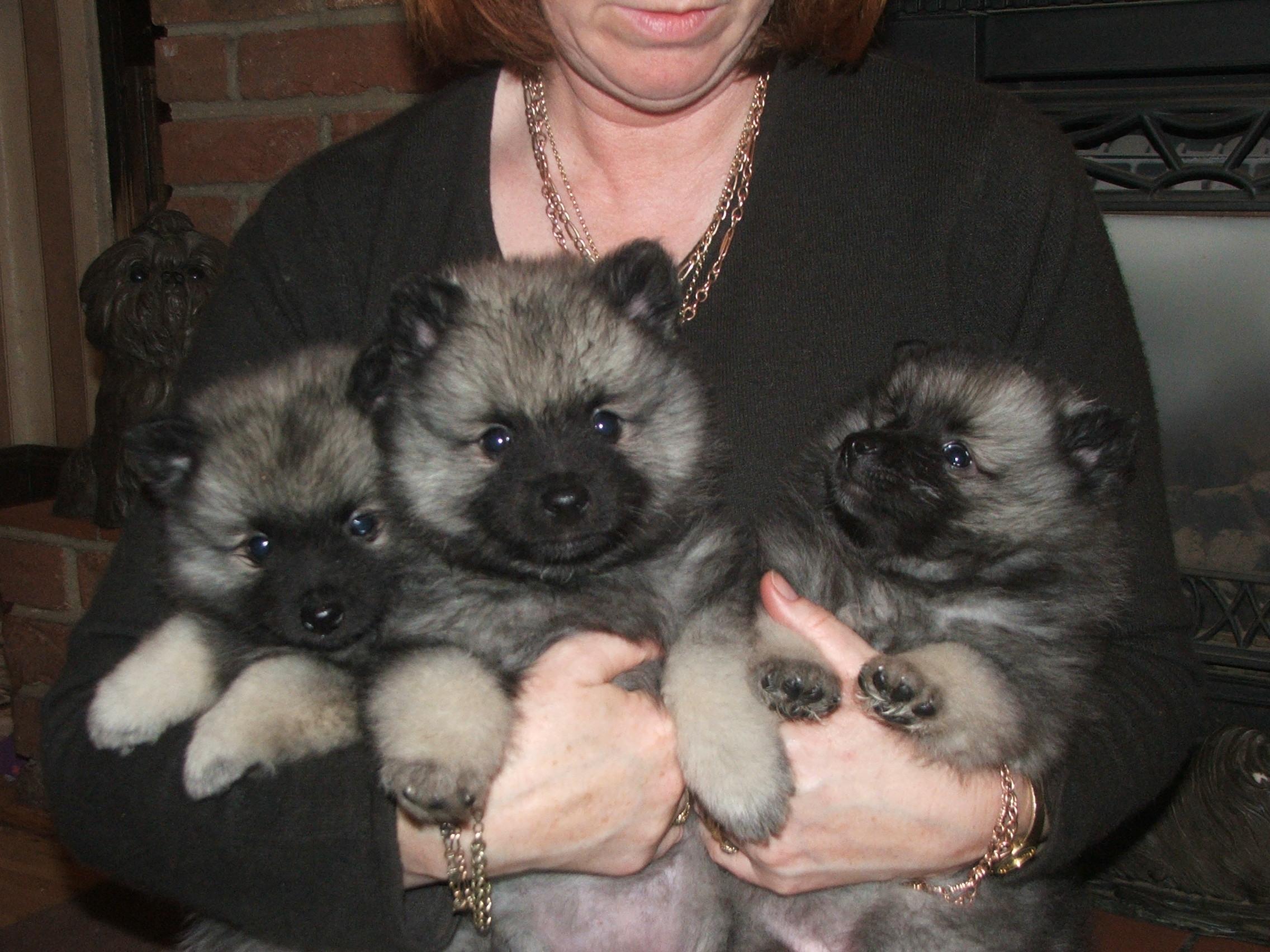 Keeshond Puppies: Keeshond Breed