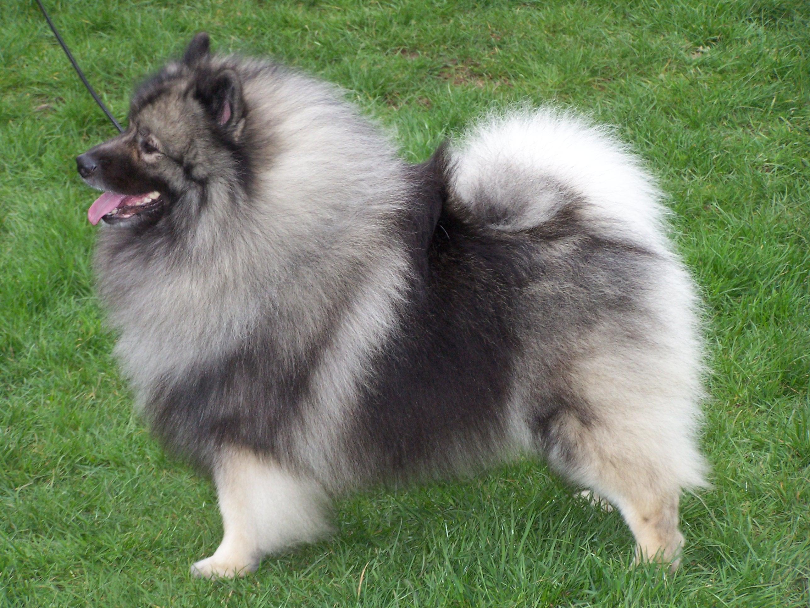 Keeshond Puppies: Keeshond Keeshond Breed