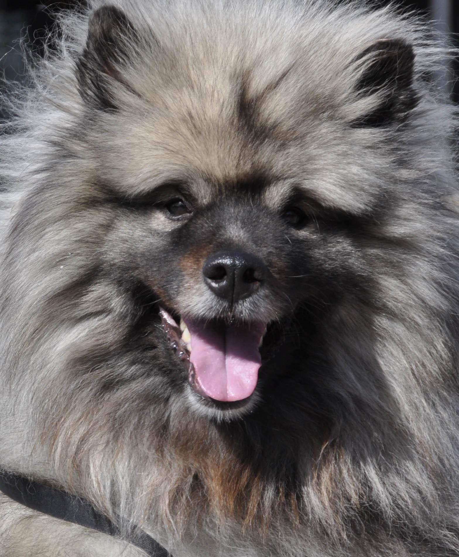 Keeshond Dog: Keeshond Keeshond Dog Face Breed