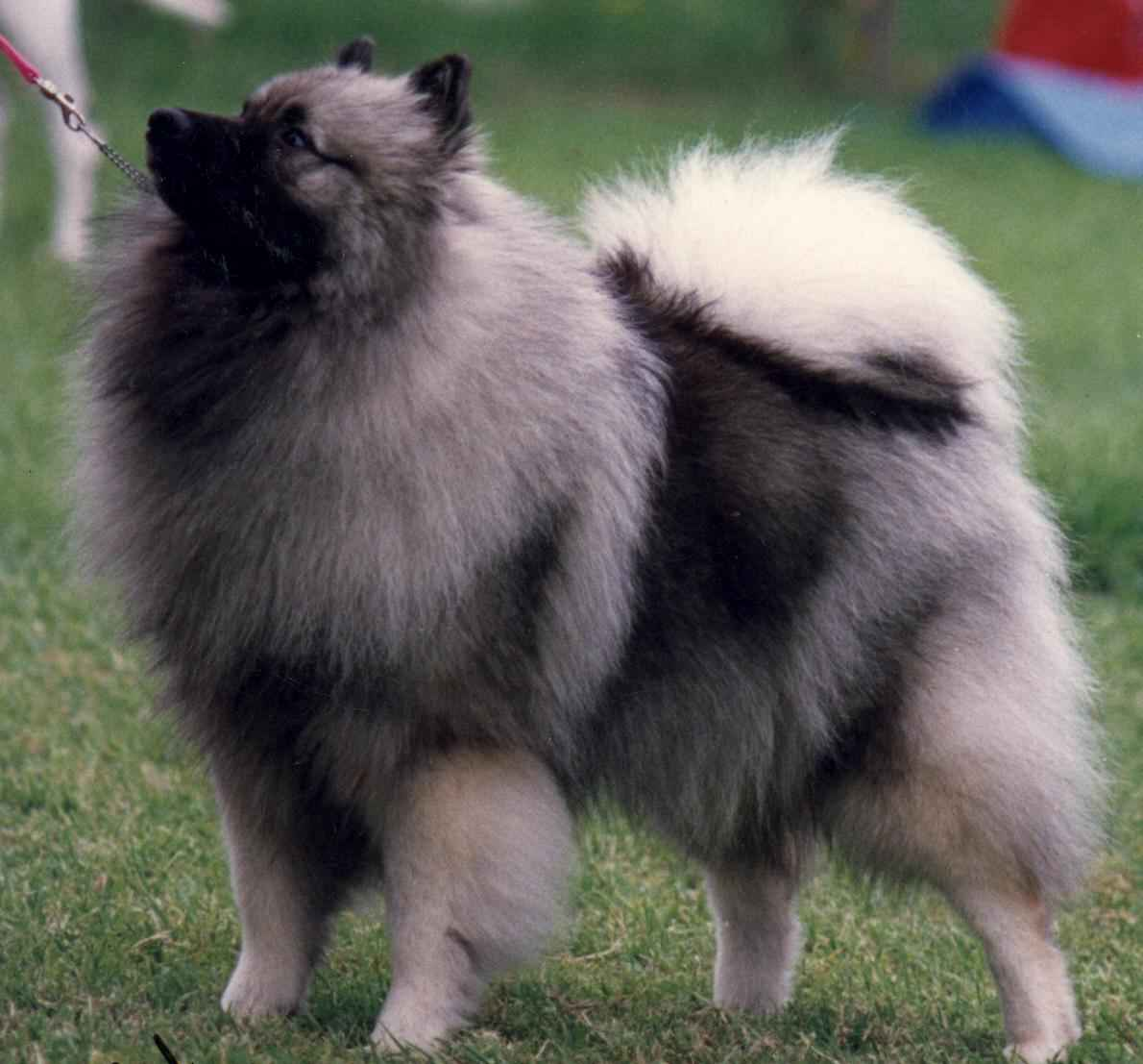 Keeshond Dog: Keeshond Keeshond Dog Info Breed