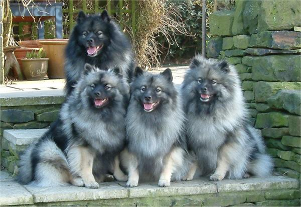 Keeshond Dog: Keeshond Keeshond Dog Review And S Breed