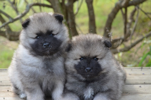 Keeshond Puppies: Keeshond Keeshond Dog S Breed