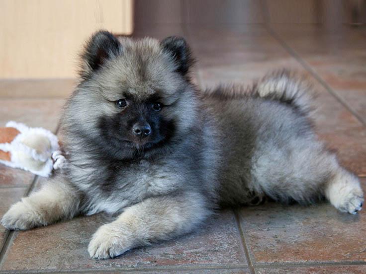 Keeshond Dog: Keeshond Keeshond Intelligent Dog Hairy Wolf From Germany Breed