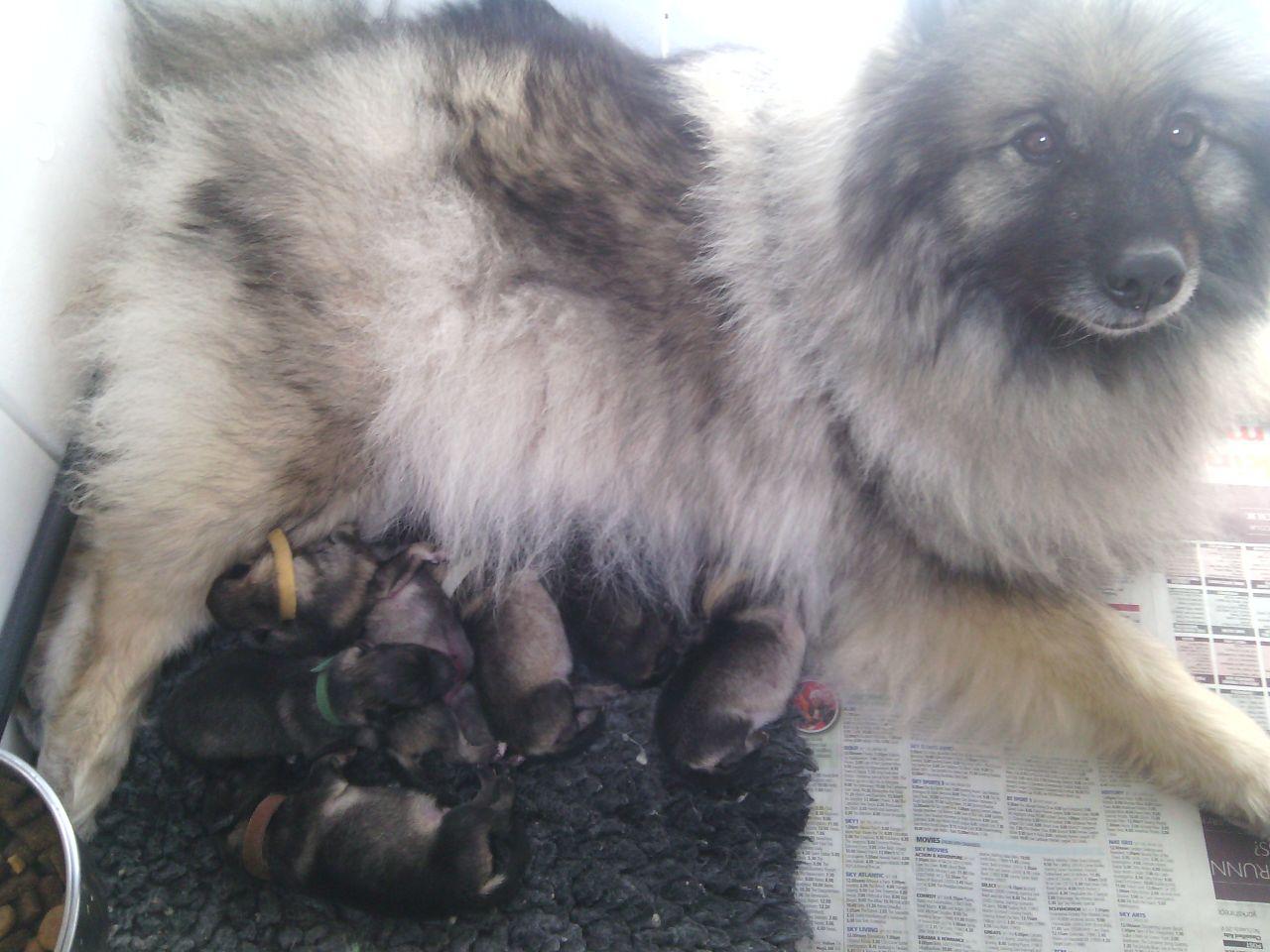 Keeshond Puppies: Keeshond Keeshond Puppies Leeds Breed