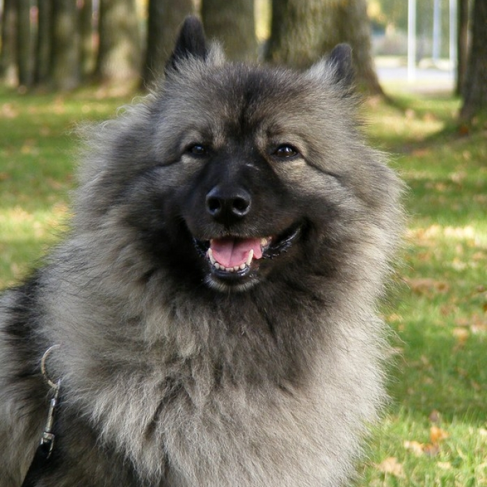 Keeshond Dog: Keeshond Keeshonds Breed