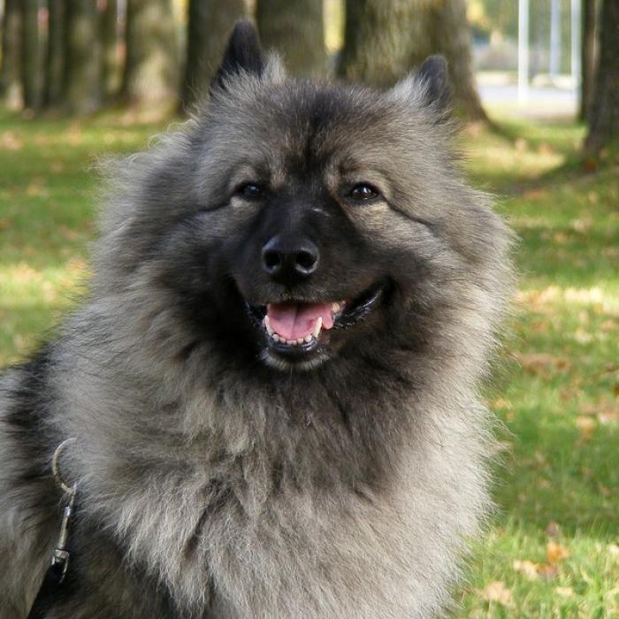 Keeshond Dog: Keeshond Keeshonds Breed