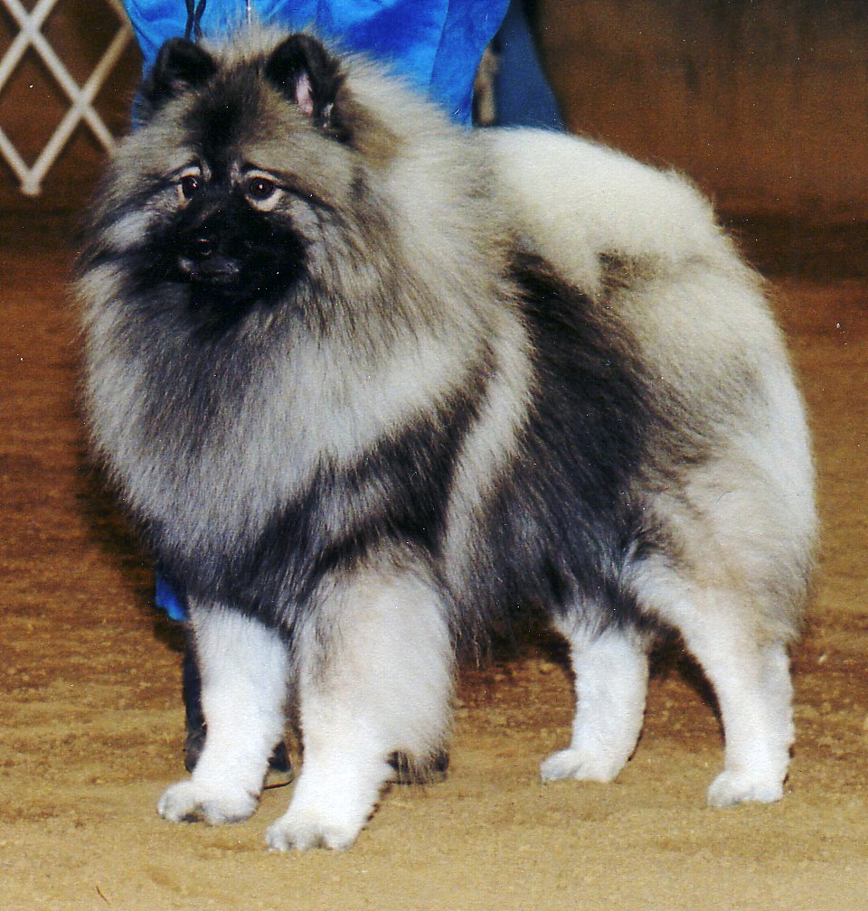 Keeshond Dog: Keeshond Zeus Breed