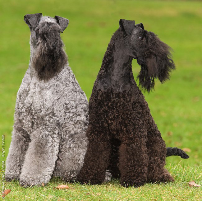 Kerry Blue Terrier Dog: Kerry Breed Of Month Kerry Blue Terrier