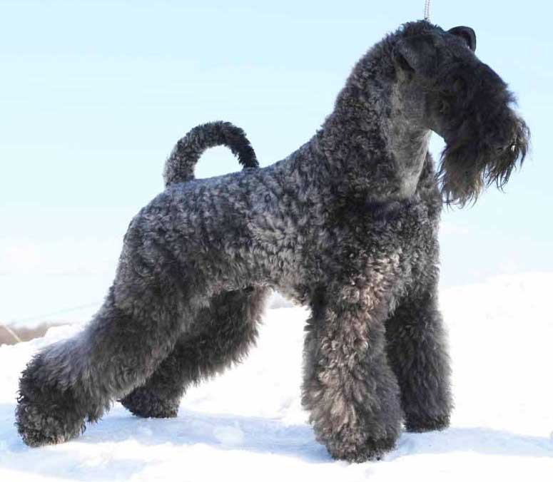 Kerry Blue Terrier Puppies: Kerry Chien Elevage F Breed
