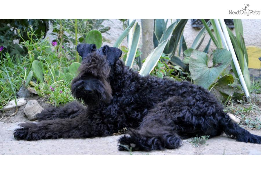 Kerry Blue Terrier Puppies: Kerry Dfcfb Ed Breed