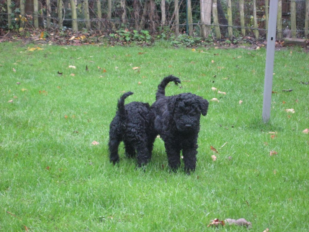 Kerry Blue Terrier Puppies: Kerry Fantastic Kerry Blue Terrier Puppies For Sale Coventry Breed