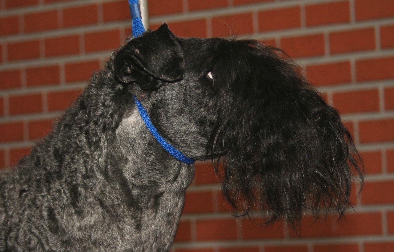 Kerry Blue Terrier Dog: Kerry Filekerryblueterrierpl Breed