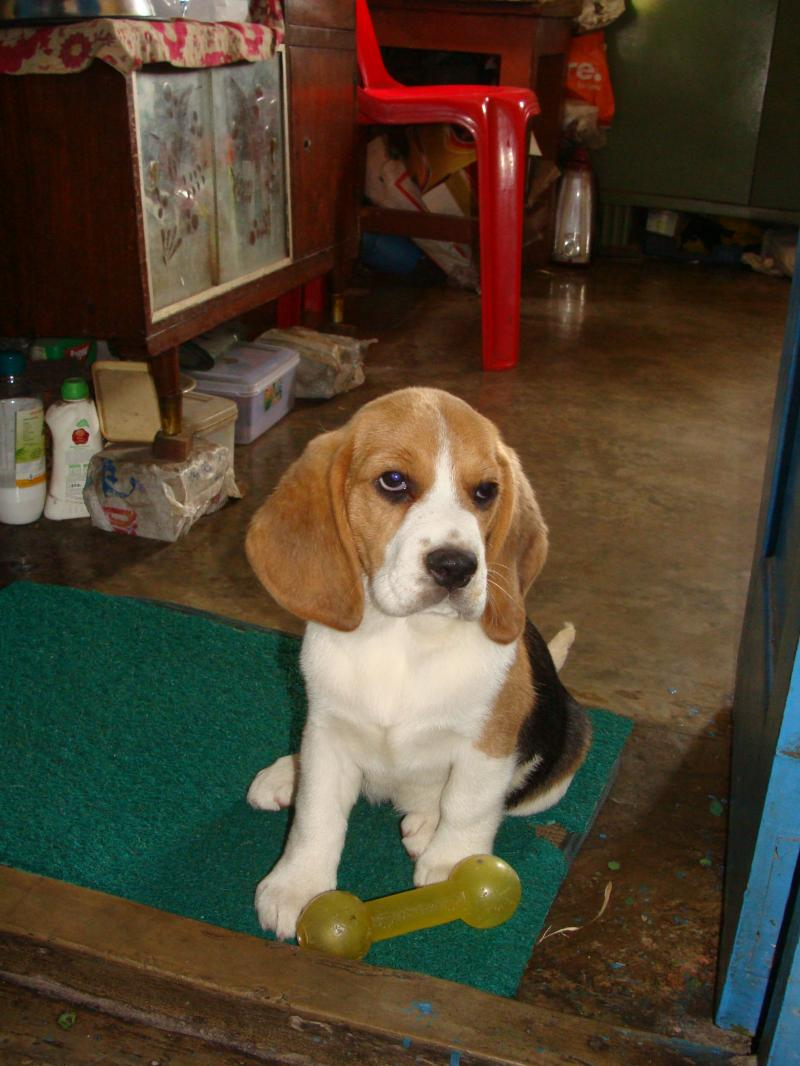 Kerry Beagle Puppies: Kerry Free Kim Kardashian Superstar Breed