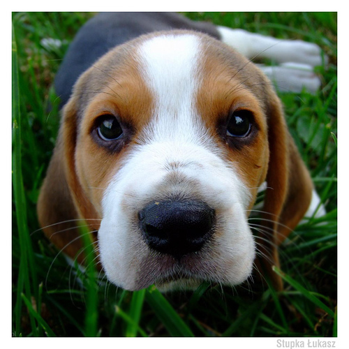Kerry Beagle Puppies: Kerry Inch Beagle Breed