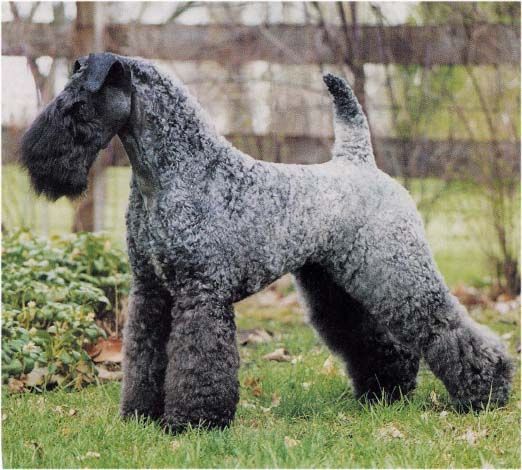Kerry Blue Terrier Puppies: Kerry Index Breed