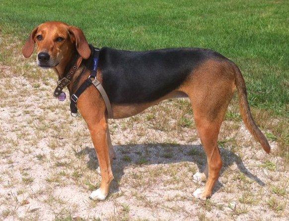 Kerry Beagle Dog: Kerry Irish Dog Breeds