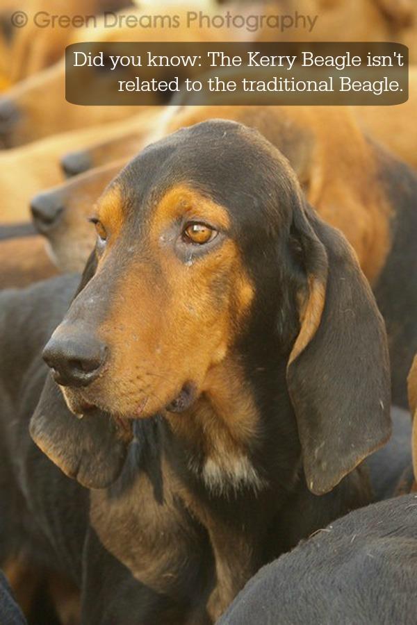 Kerry Beagle Dog: Kerry Kerry Beagle Breed